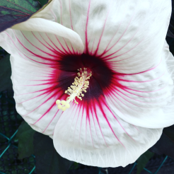 madinina-flower